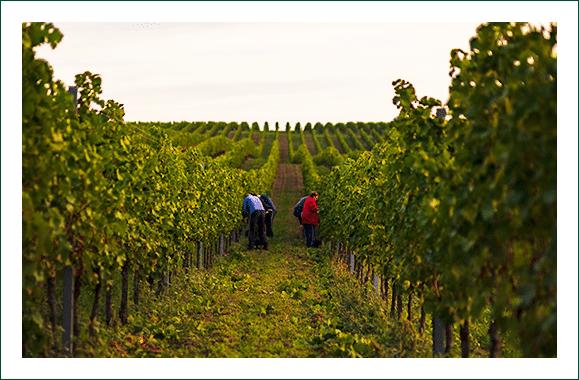 Viñedos reserva de vinos