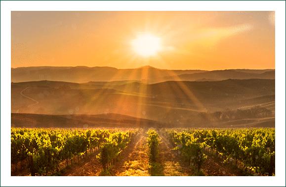 Atardecer en viñedo Viña Bujanda